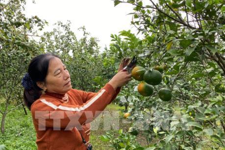 Tìm đầu ra ổn định cho sản phẩm cam Con Cuông