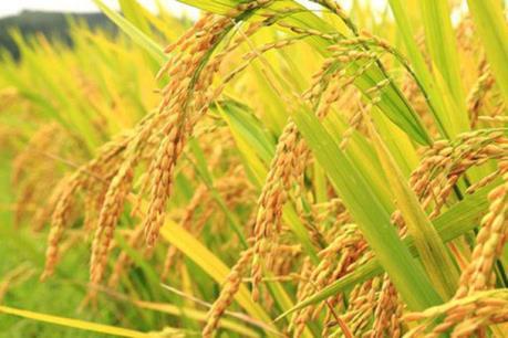 Khai mạc Festival Lúa gạo Việt Nam lần IV