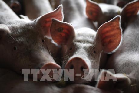Dịch tả lợn châu Phi bắt đầu bùng phát tại Indonesia