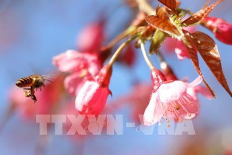 Sắc hoa Tớ Dày vùng cao Mù Cang Chải