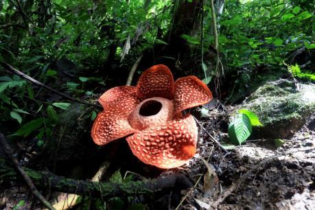 Bông hoa lớn nhất thế giới nở rộ tại Indonesia