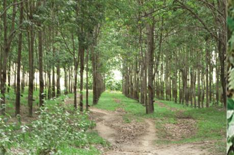Thu hồi gần 1.800 ha đất trồng cao su để làm sân bay Long Thành