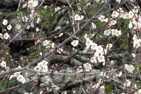 Hoa mơ nở trắng cao nguyên Mộc Châu