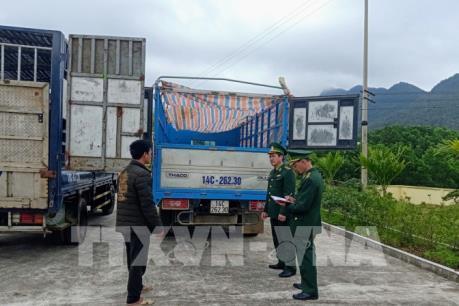 Bắt giữ hai xe ô tô vận chuyển lợn sang Trung Quốc tiêu thụ