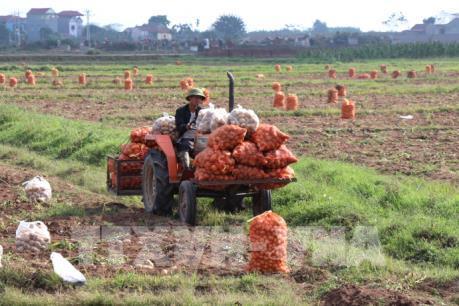 Nâng tầm thương hiệu khoai tây Quế Võ