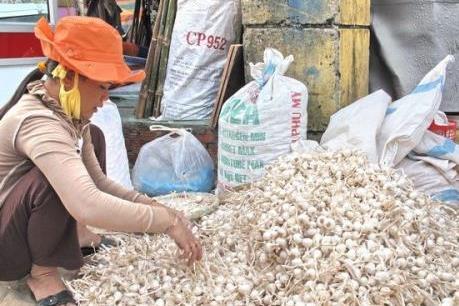 Lý Sơn còn khoảng 700 tấn tỏi trong dân chưa tiêu thụ