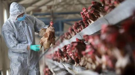 Trung Quốc công bố bùng phát dịch cúm gia cầm H5N1 ở tỉnh Hồ Nam