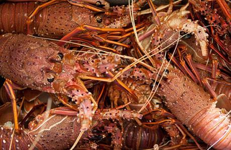Tôm hùm Australia bị ùn ứ vì dịch virus Corona