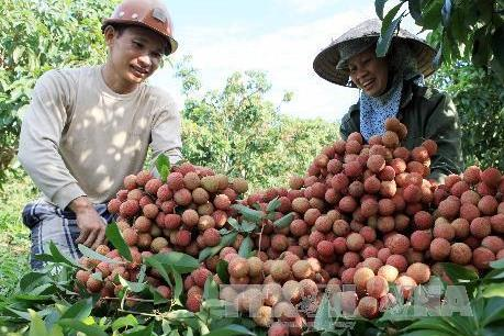 Chuẩn bị các điều kiện để xuất khẩu vải quả tươi sang Nhật Bản