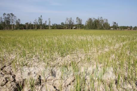 Nhiều diện tích lúa bị chết do xâm nhập mặn và có nguy cơ thiếu nước