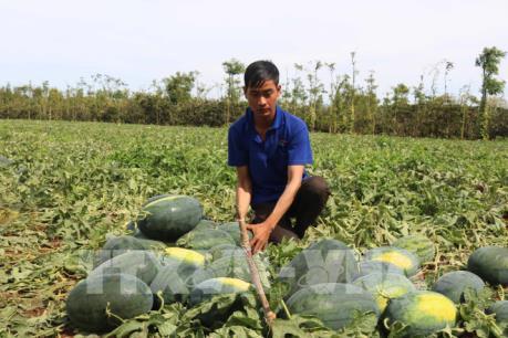 Dịch COVID-19: Quảng Ngãi chủ động tìm đầu ra cho dưa hấu