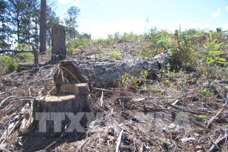 UBND huyện Đam Rông trả lời vụ phá rừng thông Phi Liêng và rao bán đất rừng
