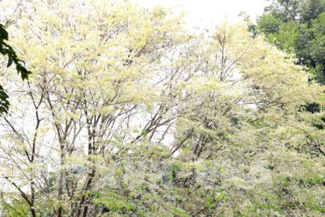 Sắc trắng hoa sưa giữa Hà Nội mùa thay lá