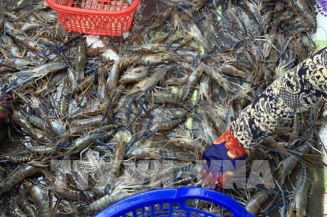 Cà Mau: Điều tra, xử lý gian lận trong thu mua tôm nguyên liệu