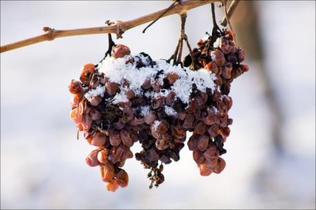 """Đặc sản rượu vang tuyết của Đức có thể trở thành """"hàng hiếm"""""""