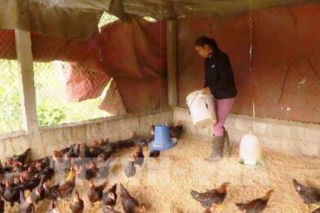 Chủ động phòng ngừa dịch cúm gia cầm