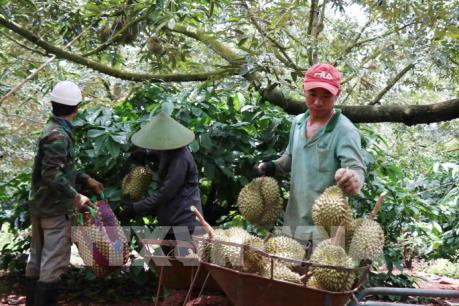 Giá sầu riêng tại Tiền Giang tăng mạnh