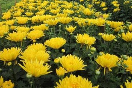 Lâm Đồng phủ nhận thông tin nhà vườn bỏ hoa cúc vì dịch