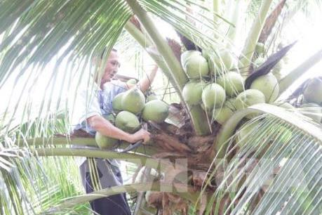 Giá dừa sáp tăng cao