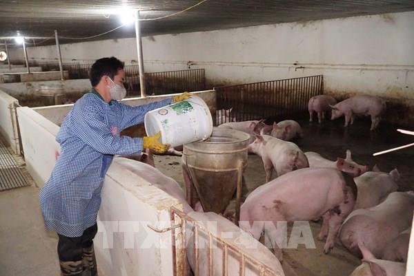 20 tỉnh, thành tái phát dịch tả lợn châu Phi