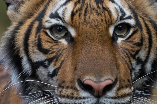 Dịch COVID-19: Hổ ở vườn thú New York dương tính với SARS-CoV-2