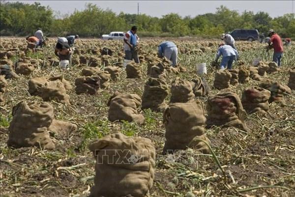 Dịch COVID-19 đang tấn công mạnh vào nông dân Mỹ