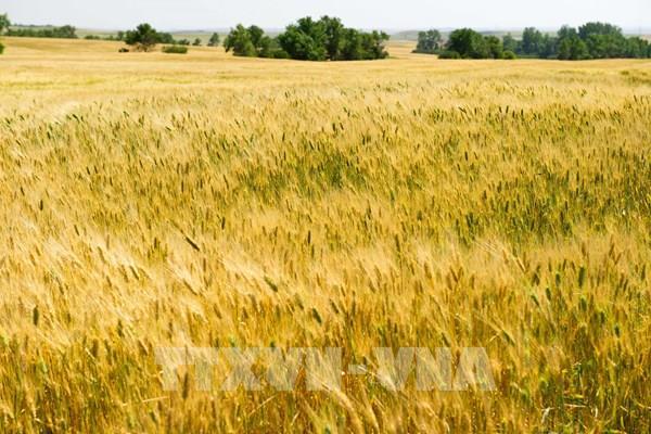 Nga tạm ngừng xuất khẩu ngũ cốc