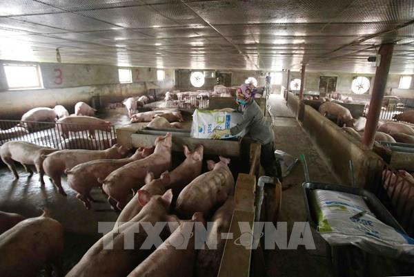 Bộ NN và PTNT: Đặc biệt chú ý tới an toàn sinh học trong tái đàn lợn