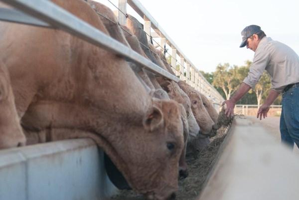 Giữa tháng 5, dự kiến lô hàng bò Australia của Hòa Phát sẽ về Việt Nam