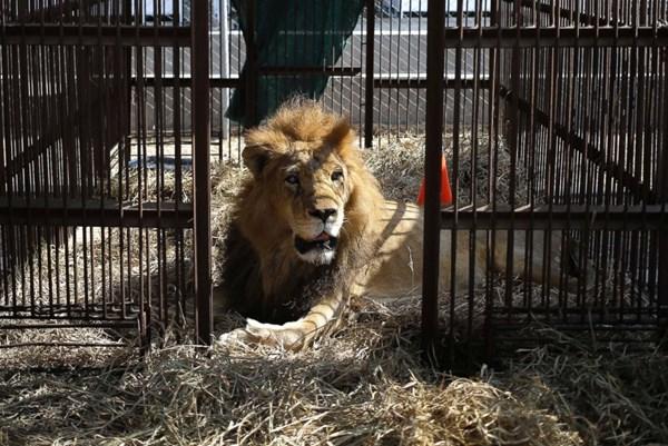 Nam Phi: 7 con sư tử xổng chuồng tại một trang trại