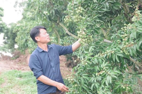 Sớm hoàn thiện thủ tục để xuất khẩu quả vải tươi sang Nhật Bản
