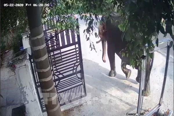 Một người bị voi nhà quật tử vong tại Đắk Lắk