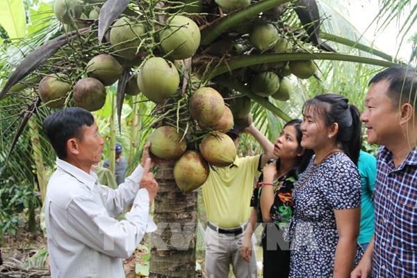 Trà Vinh khuyến khích mở rộng diện tích dừa hữu cơ