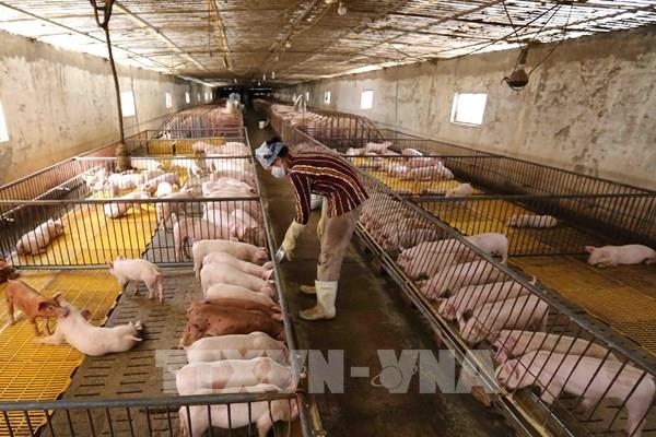 Lợn giống đạt chuẩn khan hiếm, người nuôi khó tái đàn