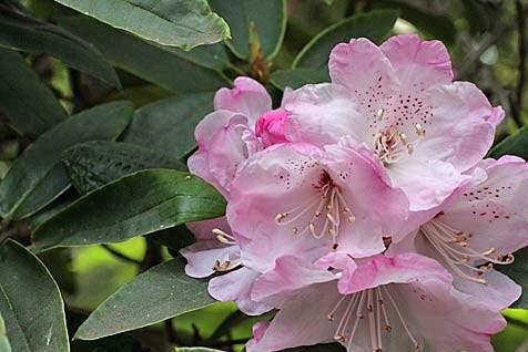 """Trung Quốc phát hiện giống hoa đỗ quyên """"mất tích"""" nhiều thập kỷ"""