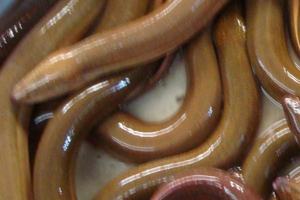Xác minh việc lợi dụng bán lươn giống để lừa đảo nông dân ở Phú Thọ