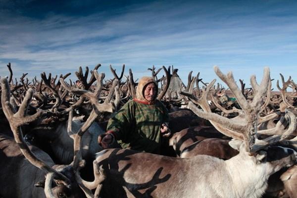 Người chăn tuần lộc ở Thụy Điển chật vật thích ứng với mùa Đông bất thường