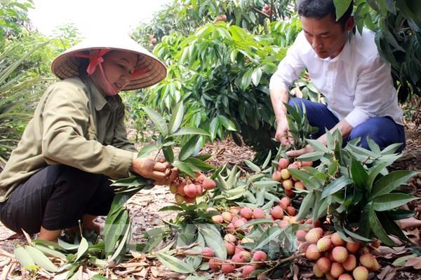 Hơn 50 doanh nghiệp, hợp tác xã tham gia tiêu thụ vải thiều tại Bắc Giang
