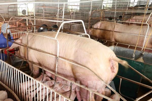 Những điều kiện cần để doanh nghiệp được nhập khẩu lợn sống từ Thái Lan