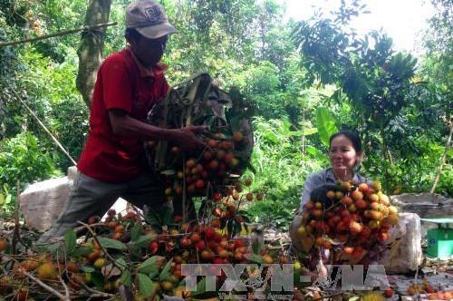 Trà Vinh hỗ trợ nhà vườn giữ hàng trăm ha chôm chôm đặc sản
