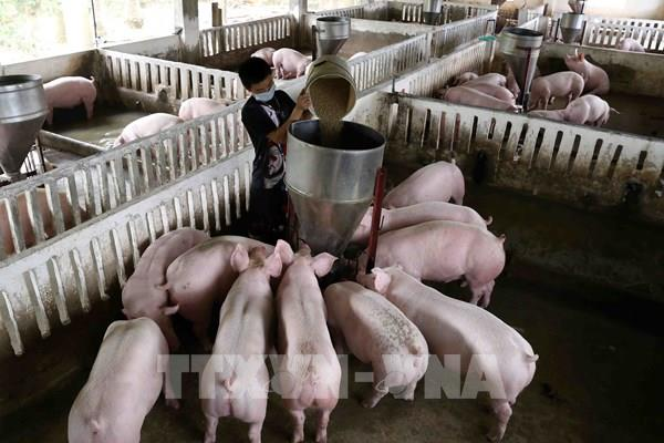 Lô hàng 500 con lợn sống đầu tiên nhập từ Thái Lan đã về đến Nghệ An
