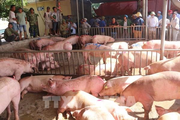 Giá lợn hơi đã giảm sau khi lợn sống được nhập khẩu về Việt Nam
