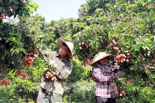 Vải thiều Việt Nam đã có mặt tại thị trường Singapore