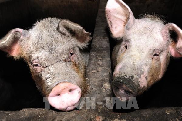 Virus cúm lợn mới G4 tại Trung Quốc có thể gây đại dịch