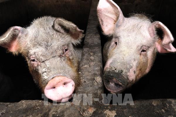 Trung Quốc bác khả năng chủng virus cúm lợn có thể gây đại dịch