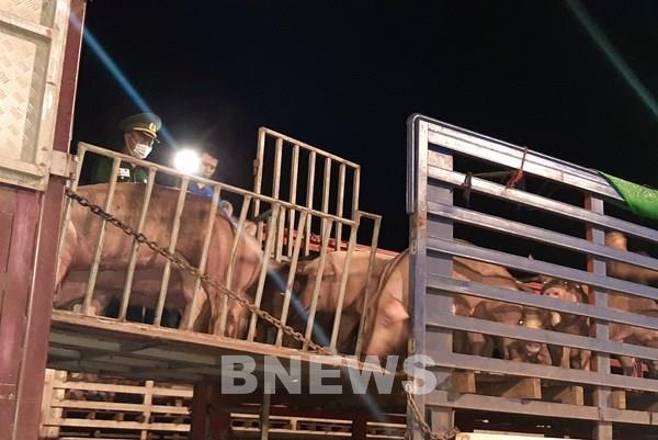 Nhập khẩu thêm gần 2.500 con lợn để bổ sung nguồn cung thị trường và tái đàn