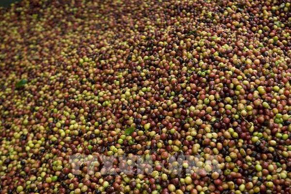 Sản lượng và xuất khẩu cà phê của Colombia tăng mạnh trong tháng 6