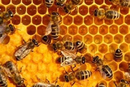 Nuôi ong mật theo hướng sản xuất hàng hóa