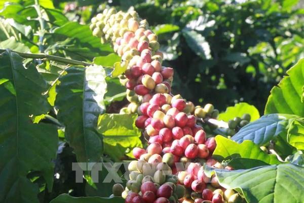 Giá cà phê trên thị trường thế giới tuần qua tăng nhẹ