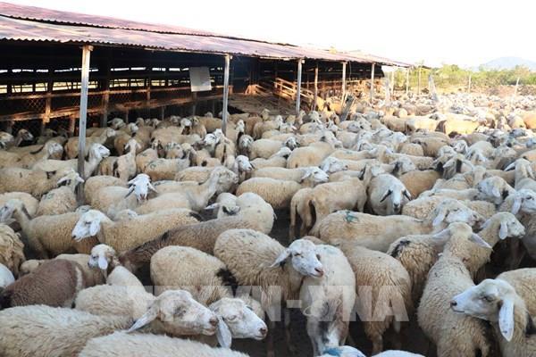 Làm gì để nâng giá trị cho sản phẩm cừu Ninh Thuận?